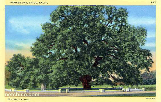 Hooker Oak at Network Chico